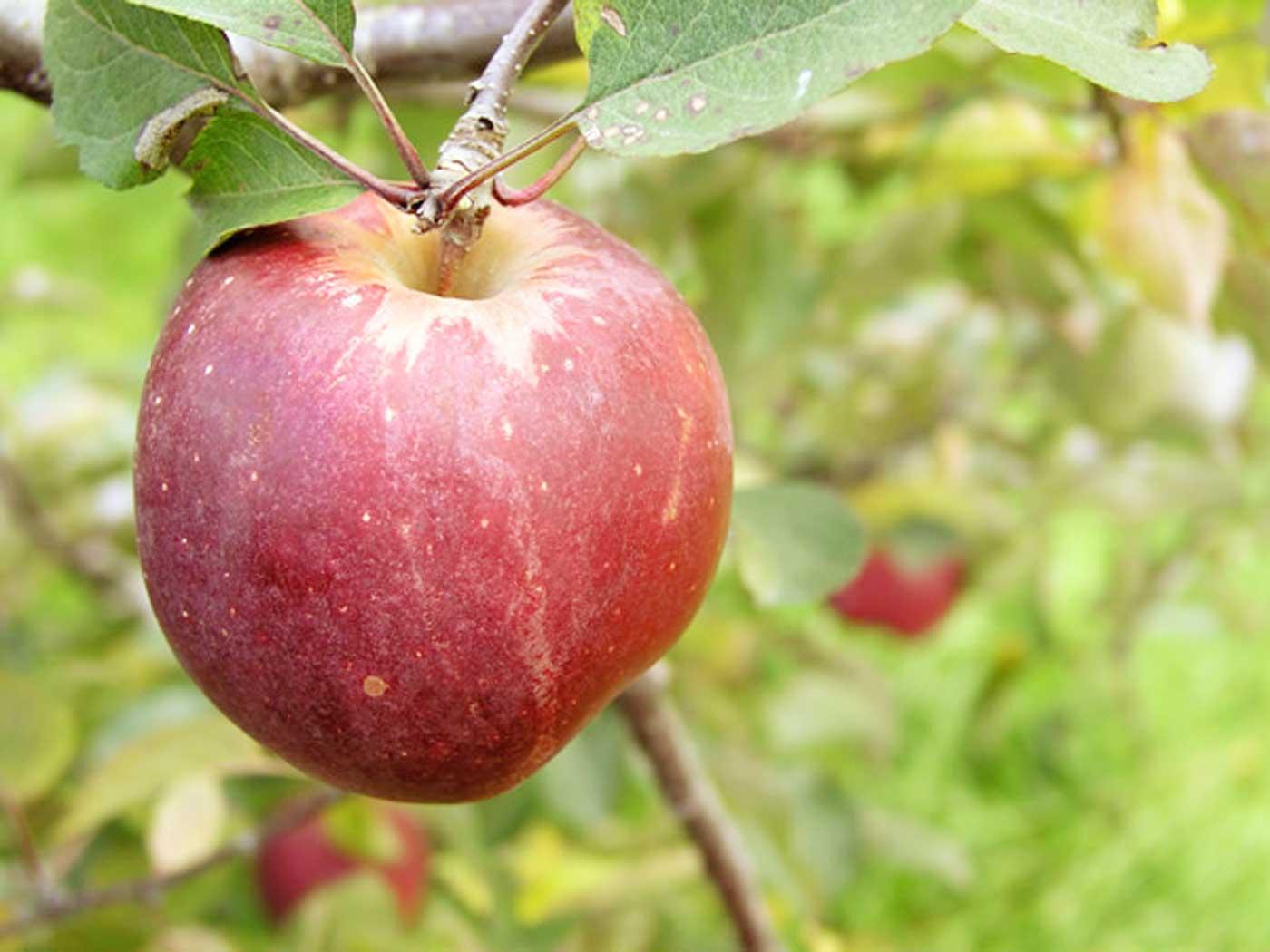 t5_apple
